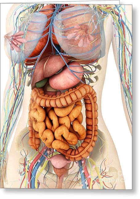 Small Intestine Greeting Cards - Female Body Showing Digestive Greeting Card by Stocktrek Images