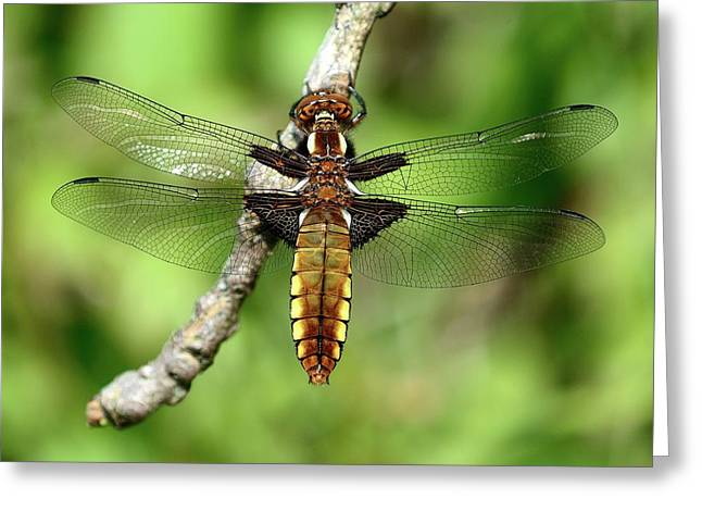 Female Broad-bodied Chaser Greeting Card by Colin Varndell