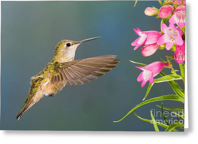 Female Broad-tailed Hummingbirds Greeting Card by Anthony Mercieca