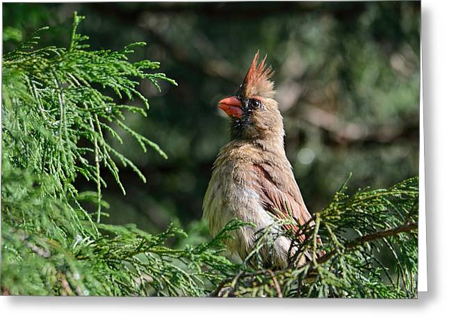 Bird On Tree Greeting Cards - Female Cardinal in a Pine Tree 2 Greeting Card by Jai Johnson