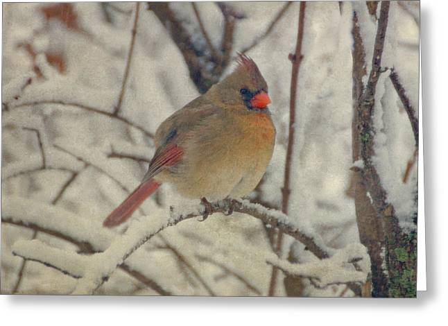 Red Bird In Snow Greeting Cards - Female Cardinal in the Snow II Greeting Card by Sandy Keeton