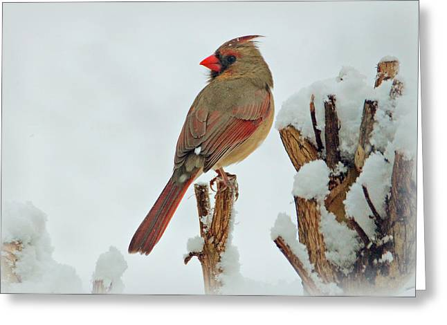 Female Cardinal in the Snow Greeting Card by Sandy Keeton