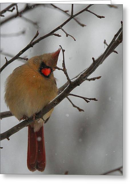 Red Cardinals In Snow Greeting Cards - Female Cardinal In Winter Greeting Card by Dan Sproul
