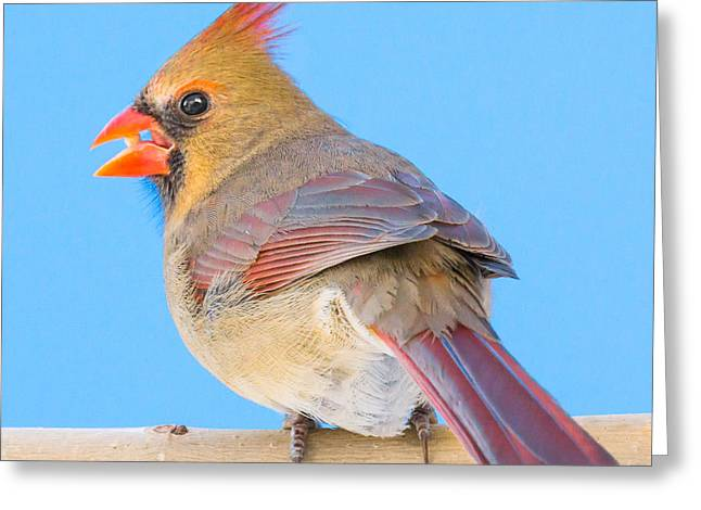 Female Northern Cardinal Greeting Cards - Female Cardinal  Greeting Card by Jim Hughes