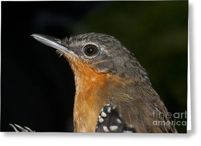Passeriformes Greeting Cards - Female Chestnut-tailed Antbird Greeting Card by William H. Mullins