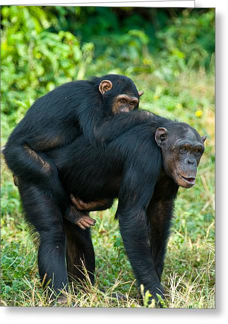 Female Animal Greeting Cards - Female Chimpanzee Pan Troglodytes Greeting Card by Panoramic Images