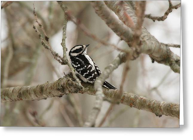 Downy Greeting Cards - Female Downy Woodpecker Greeting Card by Heidi Piccerelli