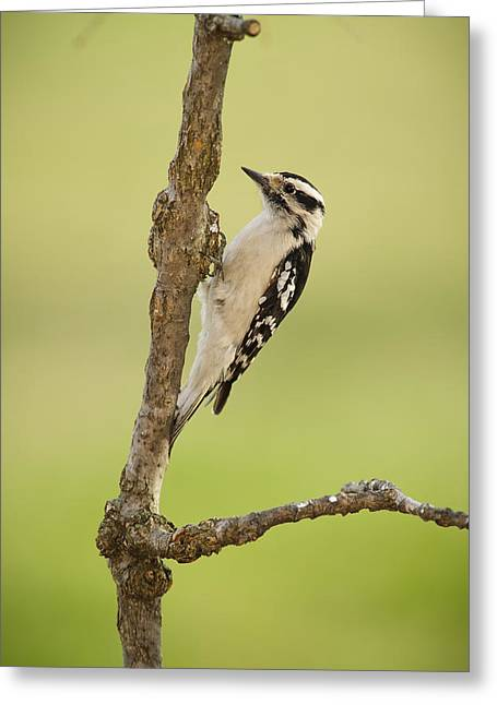Downy Greeting Cards - Female Downy Woodpecker On A Tree Greeting Card by Tom Patrick
