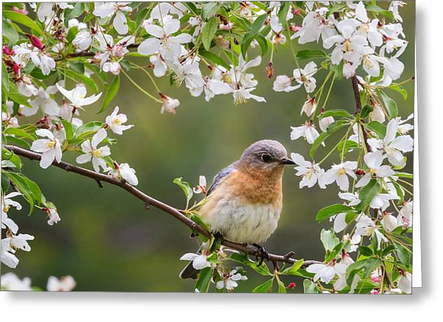 Birds With Flowers Greeting Cards - Female Eastern Bluebird Square Greeting Card by Bill  Wakeley
