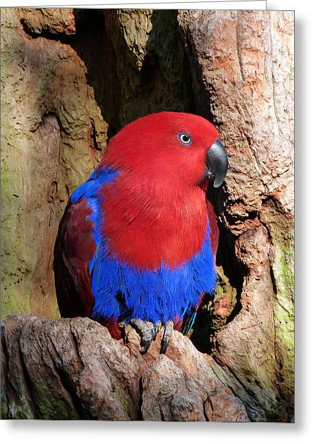 Saheed Greeting Cards - Female Eclectus Parrot Resting Greeting Card by Margaret Saheed