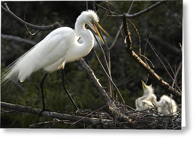 Hungry Chicks Greeting Cards - Female Egret with chicks Greeting Card by Bill LITTELL