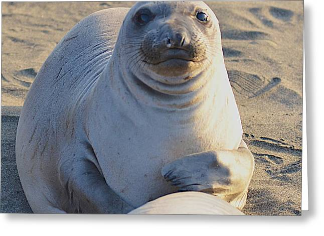 Pch Greeting Cards - Female Elephant Seal Greeting Card by Jason Waugh