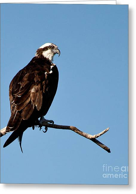 Michelle Greeting Cards - Female Florida Osprey Greeting Card by Michelle Wiarda