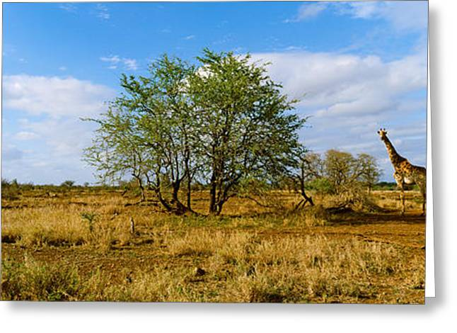 Non Urban Scene Greeting Cards - Female Giraffe With Its Calf Greeting Card by Panoramic Images