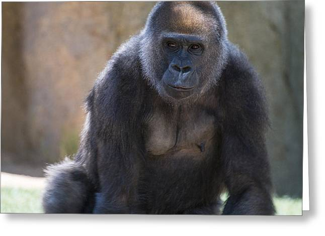 Ape Photographs Greeting Cards - Female Gorilla Greeting Card by Garry Gay