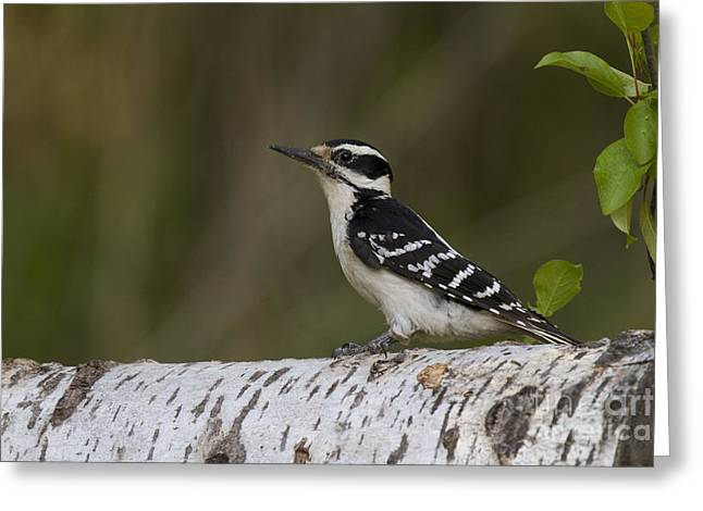 Hairy Woodpecker Greeting Cards - Female Hairy Woodpecker Greeting Card by Linda Freshwaters Arndt
