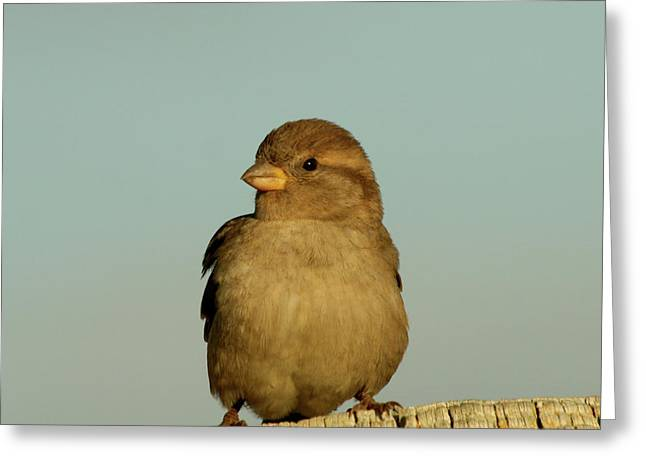 Sparrow Pyrography Greeting Cards - Female House Sparrow Greeting Card by Bob and Jan Shriner