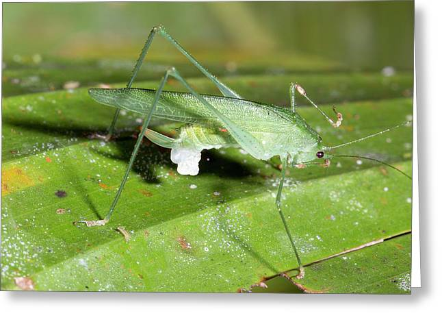 Female Katydid With Spermatophore Greeting Card by Dr Morley Read