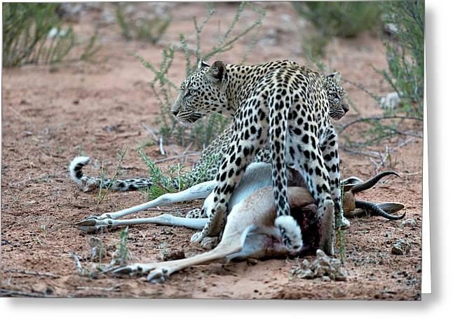 Female Leopard & Cub With Springbok Prey Greeting Card by Tony Camacho