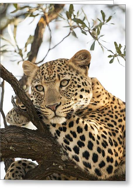 Female Leopard Resting In A Tree Greeting Card by Science Photo Library