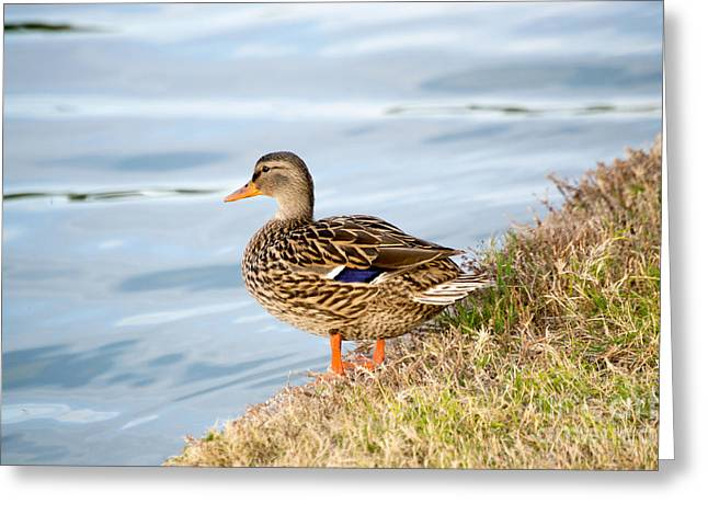 Duck Framed Prints Greeting Cards - Female Mallard Greeting Card by Beverly Guilliams