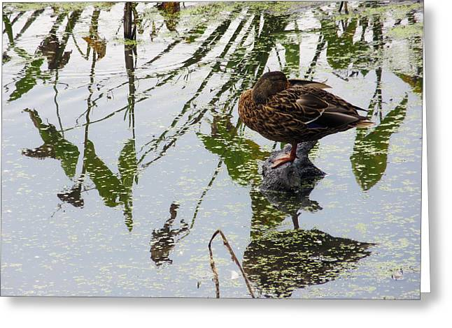 Anatinae Greeting Cards - Female Mallard Preening 2 Greeting Card by Shawna  Rowe
