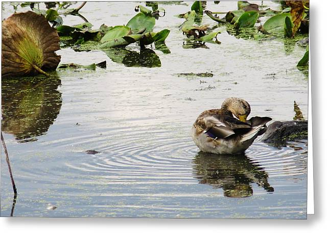Anatinae Greeting Cards - Female Mallard Preening Greeting Card by Shawna  Rowe