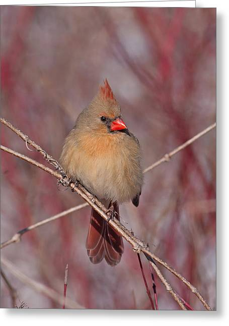 Jim Nelson Greeting Cards - Female Northern Cardinal Greeting Card by Jim Nelson