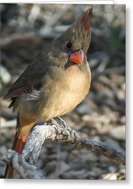 Az Cardinals Greeting Cards - Female Northern Cardinal Greeting Card by Stacy Fortson