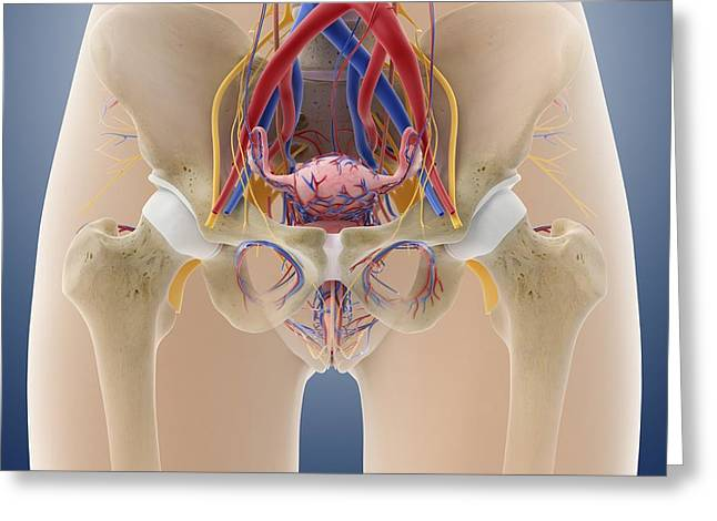 External Skeleton Greeting Cards - Female pelvic anatomy, artwork Greeting Card by Science Photo Library