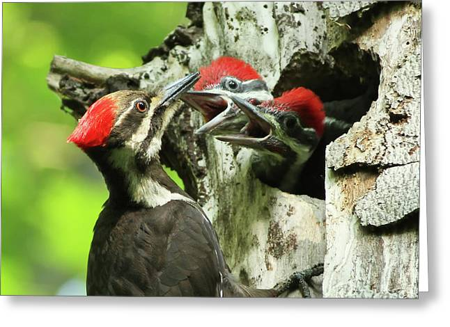 Pileated Woodpeckers Greeting Cards - Female Pileated Woodpecker at nest Greeting Card by Mircea Costina Photography