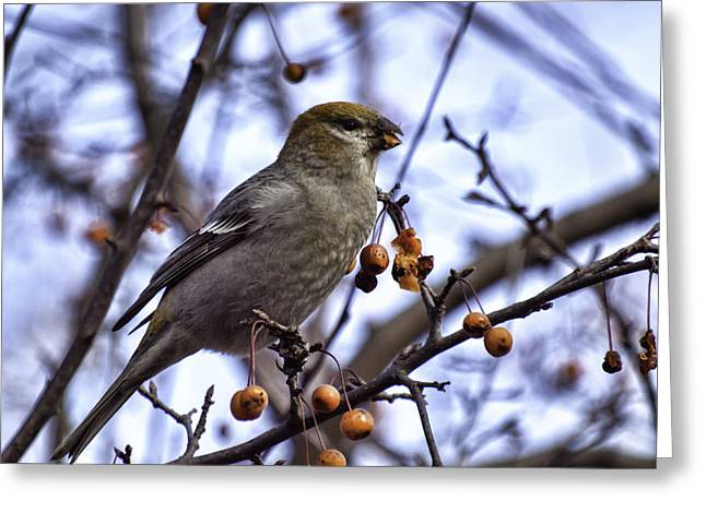 Thomas Young Photography Greeting Cards - Female Pine Grosbeak 1 Greeting Card by Thomas Young