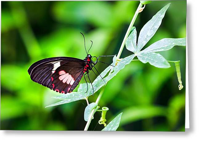 Bright Leaves Greeting Cards - Female Pink Cattleheart butterfly Greeting Card by Jane Rix