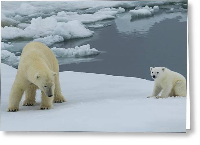 Female Polar Bear Ursus Maritimus Greeting Card by Panoramic Images