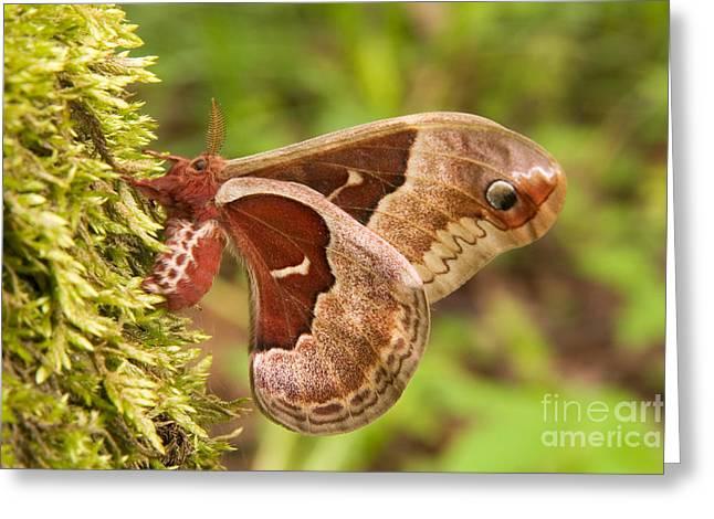 Promethea Greeting Cards - Female Promethea Moth Greeting Card by Gregory K Scott
