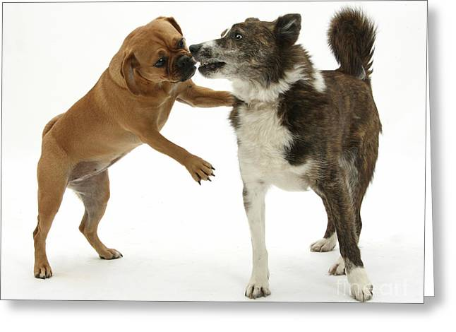 House Pet Greeting Cards - Female Puggle And Mongrel Dog Greeting Card by Mark Taylor