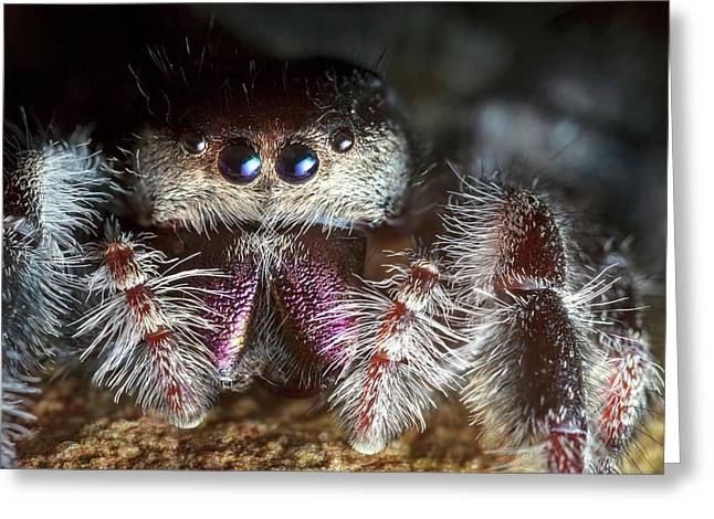 Female Regal Jumping Spider Greeting Card by Alex Hyde
