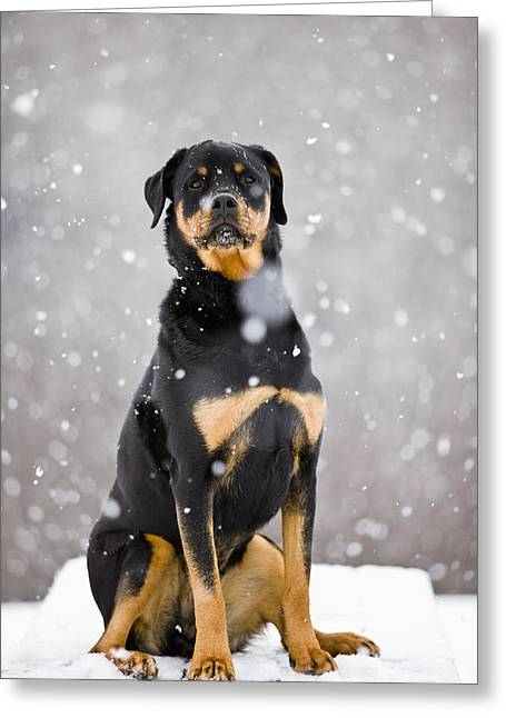 Winter Storm Greeting Cards - Female Rottweiler Sitting On Top Of A Greeting Card by Jim Craigmyle