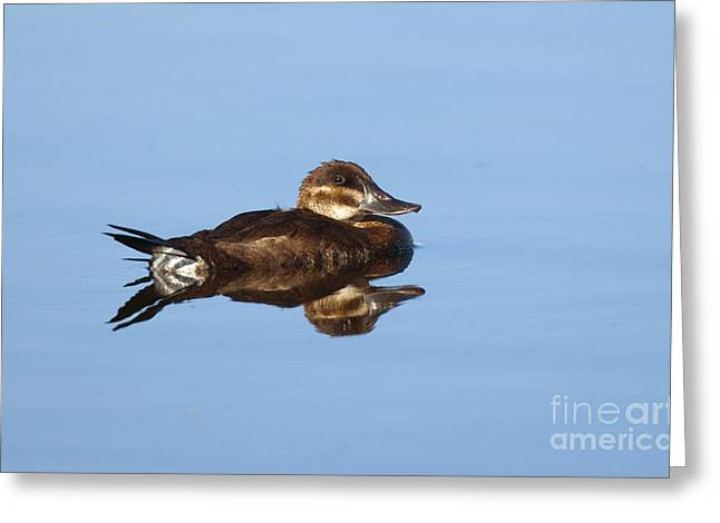 Water Fowl Greeting Cards - Female Ruddy Duck Oxyurus Jamaicensis Greeting Card by Anthony Mercieca