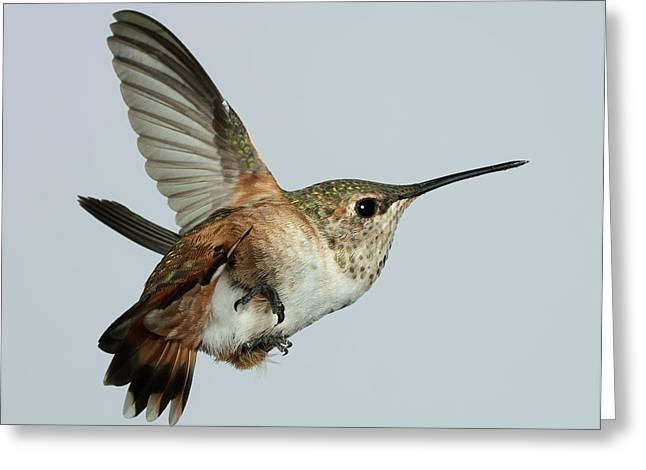 Exhibitionist Greeting Cards - Female Rufous Rumpus Greeting Card by Gregory Scott