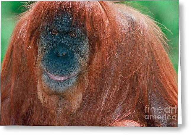Protected Species Greeting Cards - Female Sumatran Orangutan Greeting Card by Connie Bransilver
