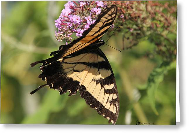 Tiger Swallowtail Digital Art Greeting Cards - Female Tiger Swallowtail-2 Greeting Card by EricaMaxine  Price