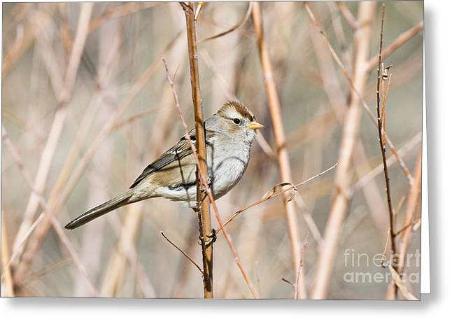 Sparrow Greeting Cards - Female White-crowned Sparrow Greeting Card by William H. Mullins
