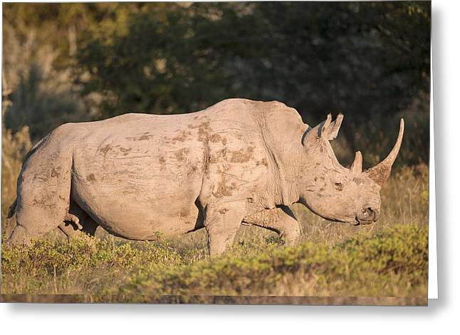 One Horned Rhino Greeting Cards - Female white rhinoceros Greeting Card by Science Photo Library