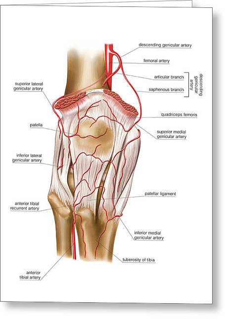 Femoral Artery Greeting Card by Asklepios Medical Atlas