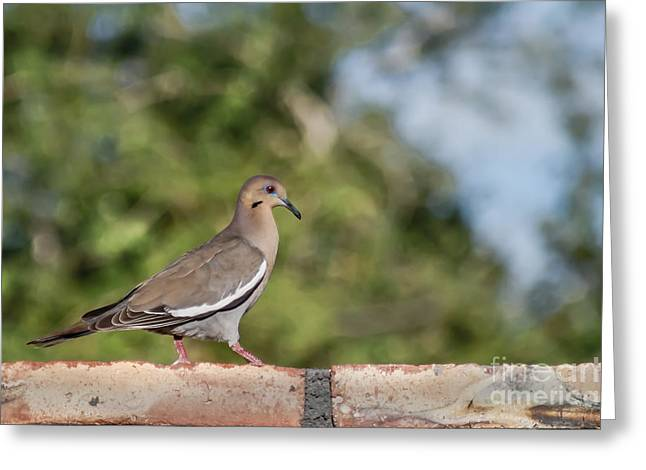 Morning Dove Photograph Greeting Cards - Fence Walker Greeting Card by Robert Bales