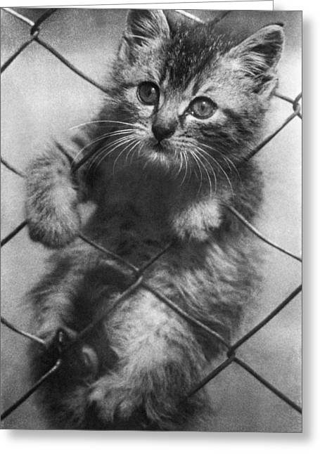 Innocence Greeting Cards - Fenced In Kitten Greeting Card by Underwood Archives