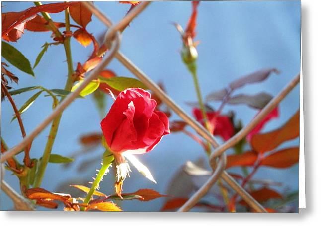 Roses Behind Fences Greeting Cards - Fenced Rose Bud Greeting Card by Belinda Lee