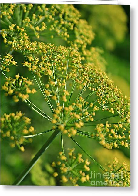 Greengrocer Greeting Cards - Fennel Greeting Card by Dan Radi