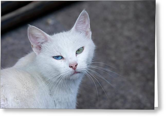 Feral White Cat On The Streets Greeting Card by Julien Mcroberts
